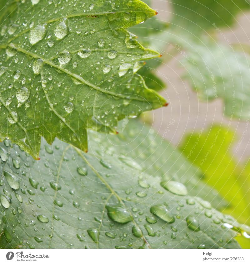 seen from two sides... Environment Nature Plant Drops of water Summer Bad weather Rain Leaf Agricultural crop Vine Vine leaf Garden Growth Esthetic Authentic