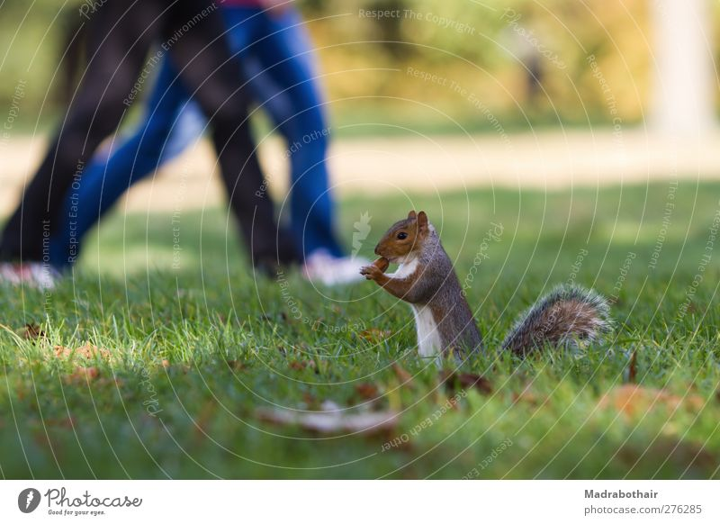 Squirrels in the park Human being Couple Legs 2 Autumn Grass Leaf Park Meadow Animal Wild animal Rodent Mammal 1 Going Hiking Cute Appetite Movement