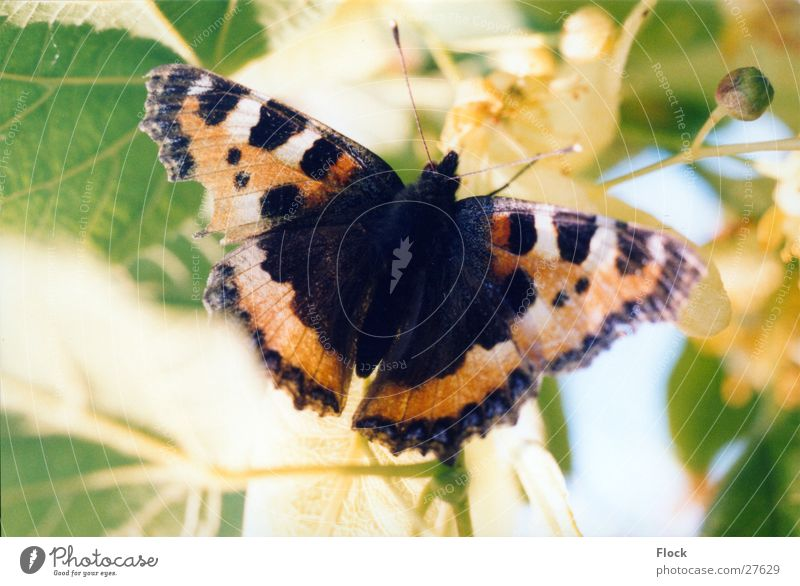 injured Little Fox Small tortoiseshell Butterfly Insect Spring butterflies
