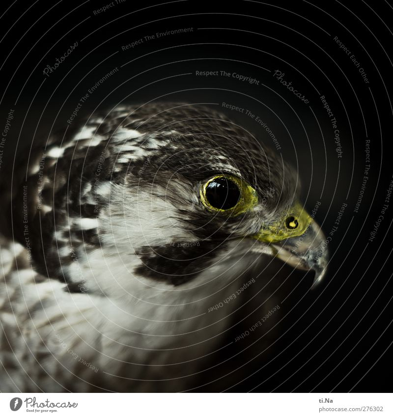 Black Yellow Gray Brown Esthetic Observe Threat Silver Environmental protection Bird of prey Animal protection Falcon