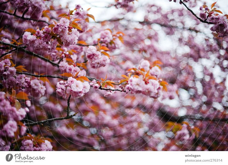 cherry forest Spring Summer Tree Leaf Blossom Breathe Blossoming Fragrance To enjoy Love Dream Authentic Happiness Happy Cuddly Sustainability Clean Beautiful