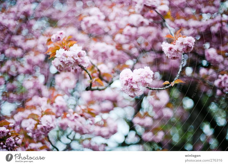 Cherry forest 2 Spring Summer Tree Leaf Blossom Breathe Blossoming Fragrance To enjoy Hang Love Dream Authentic Happiness Happy Kitsch Sustainability Clean