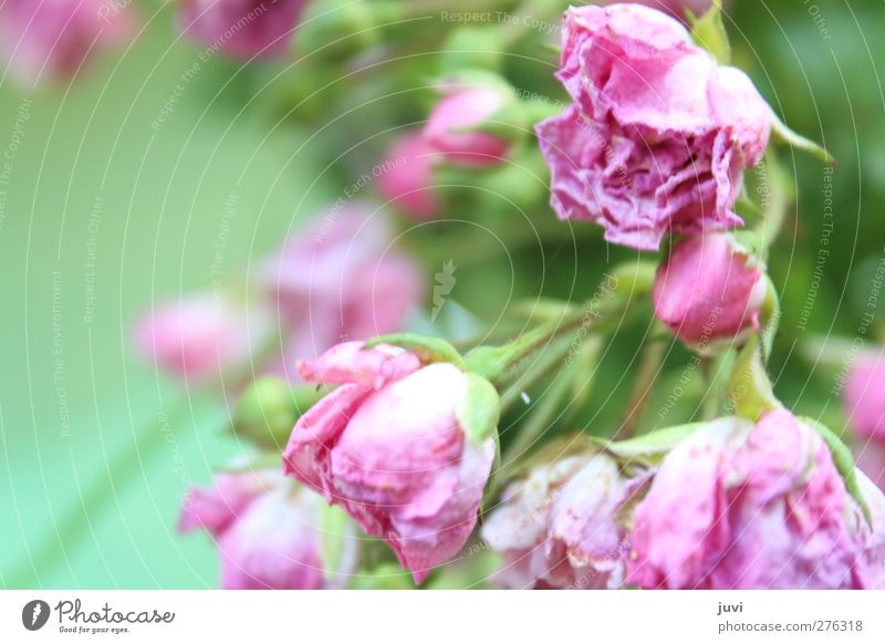 """Rosy."" Nature Plant Summer Flower Rose Blossom Wild plant Old Faded To dry up Dry Green Pink Fragrance Dreamily Romance Noble Colour photo Exterior shot Day"