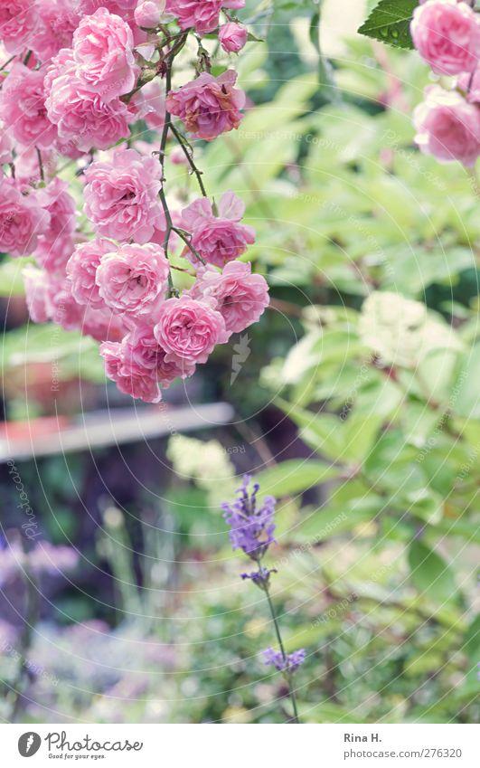 rain break Garden Summer Beautiful weather Flower Rose Lavender Blossoming Bright Natural Green Pink Joie de vivre (Vitality) Country life Colour photo