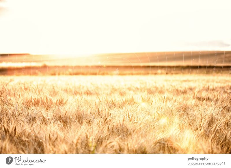 feel the nature (I) Trip Far-off places Freedom Summer Nature Landscape Plant Sky Cloudless sky Horizon Sun Autumn Beautiful weather Agricultural crop Grain