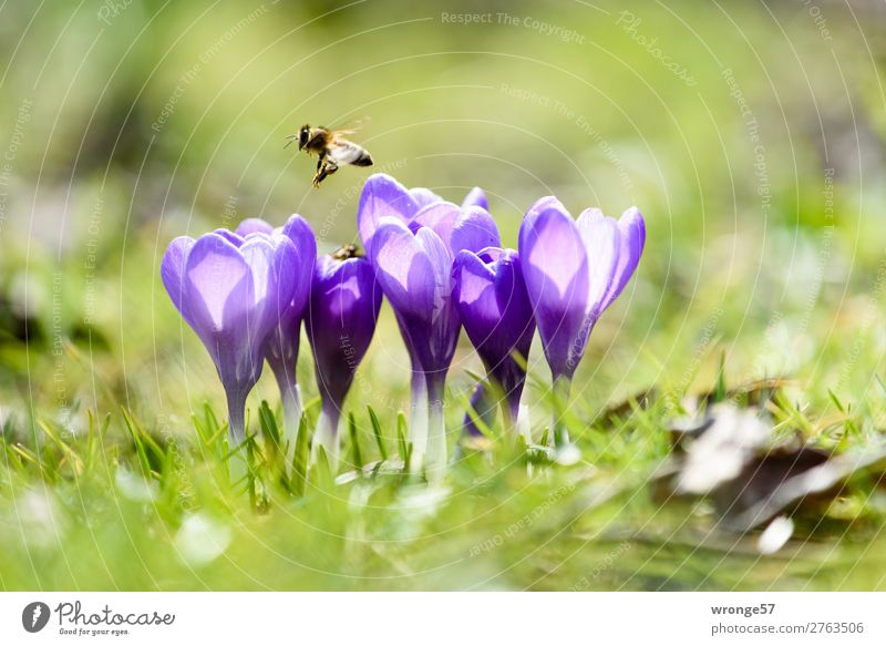 Nature Plant Green Flower Animal Spring Meadow Grass Garden Flying Park Wild animal Beautiful weather Violet Near Bee