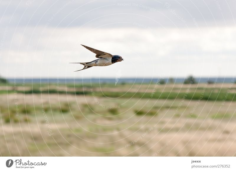 low-flying aircraft Nature Landscape Sky Horizon Summer Field Bird 1 Animal Flying Brown Gray Green Black Swallow Colour photo Subdued colour Exterior shot