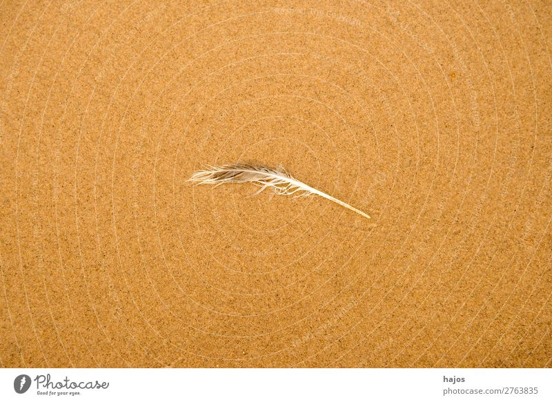 Feather on the beach Beach Nature Sand Bird Soft Brown Sandy beach gull feather Disheveled Doomed centred Fine Copy Space animal feather Colour photo