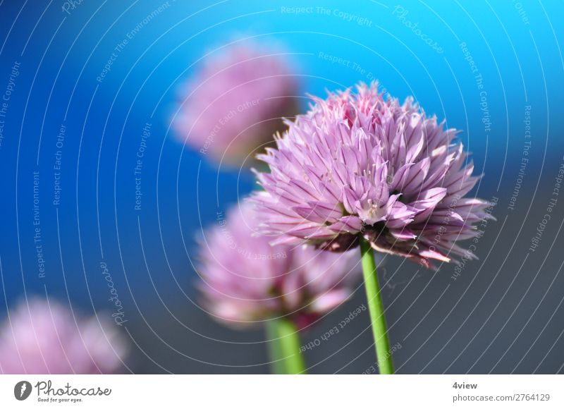 A hint of leek 2 Food Herbs and spices Blue Green Violet Pink Colour photo Copy Space left