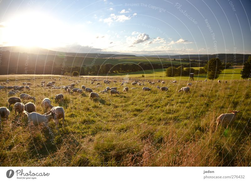 It's a busy hour. Summer Agriculture Forestry Landscape Sky Sunrise Sunset Beautiful weather Field Pasture Animal Farm animal Sheep Flock Goats Group of animals