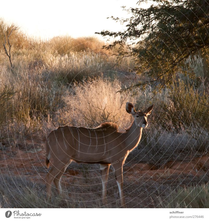 Nature Animal Landscape Environment Wild animal Stand Desert Discover Steppe Camouflage Safari Namibia Kalahari desert Kudu