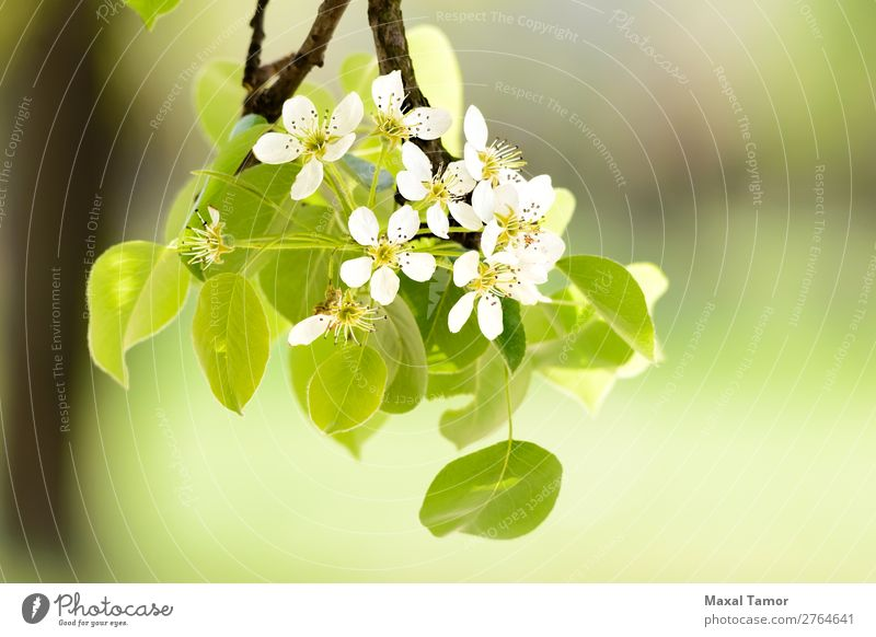 Cherry or Apple Flowers Beautiful Garden Nature Plant Spring Tree Leaf Blossom Blossoming Growth Fresh Bright Natural Soft Green White Beauty Photography