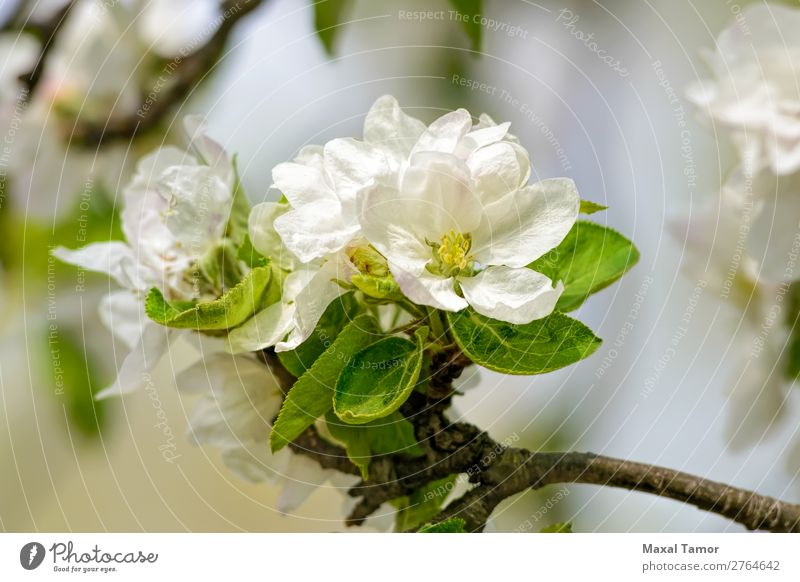 Apple Tree Flowers Beautiful Garden Nature Plant Spring Leaf Blossom Blossoming Fresh Bright Natural Soft Green White Beauty Photography blooming branch Bud