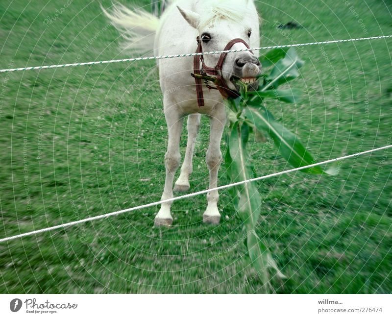 White Green Animal Meadow Movement Horse To feed Gray (horse) Foliage plant Shake Halter Electrified fence