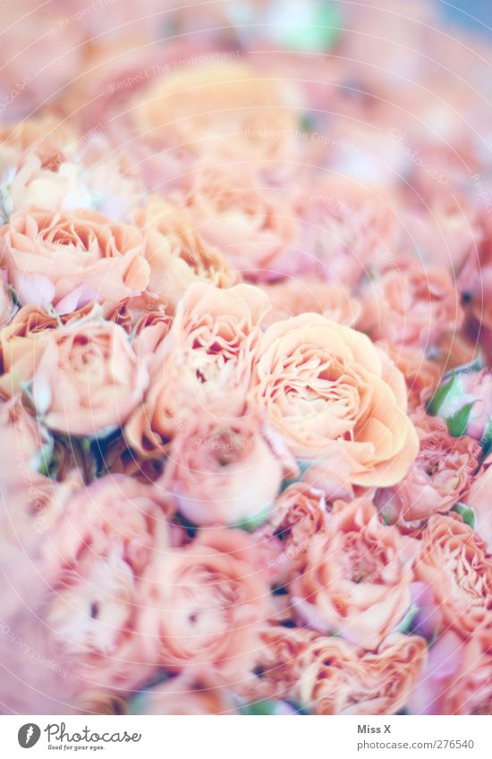 rose Plant Flower Rose Pink Fragrance Blossoming Bouquet Rose blossom Colour photo Close-up Pattern Structures and shapes Deserted