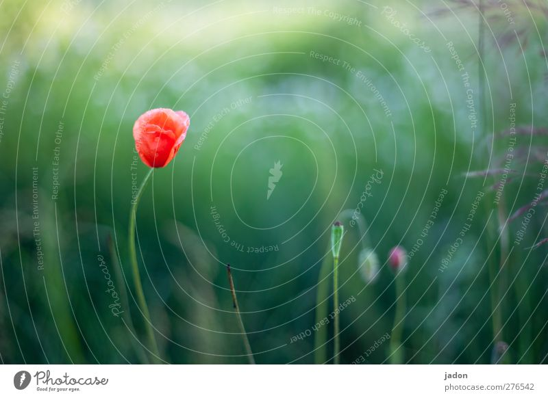 for this day. Environment Plant Drops of water Sunlight Summer Flower Grass Leaf Wild plant Poppy Poppy blossom Field Stand Esthetic Warmth Red Love Sadness