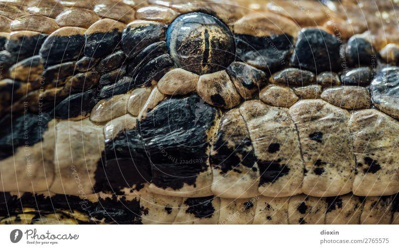 thunder lizard, stony eye Animal Wild animal Snake Animal face Snake eyes Reptiles Terrarium Eyes 1 Observe Looking Threat Exotic Natural Watchfulness Nature