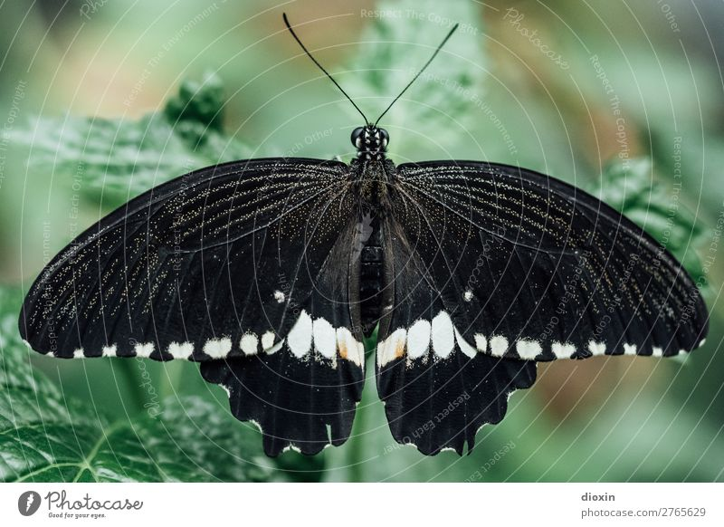 Scmetterling in black/white Environment Nature Animal Virgin forest Butterfly Insect 1 Exotic Small Easy Ease Delicate Colour photo Close-up