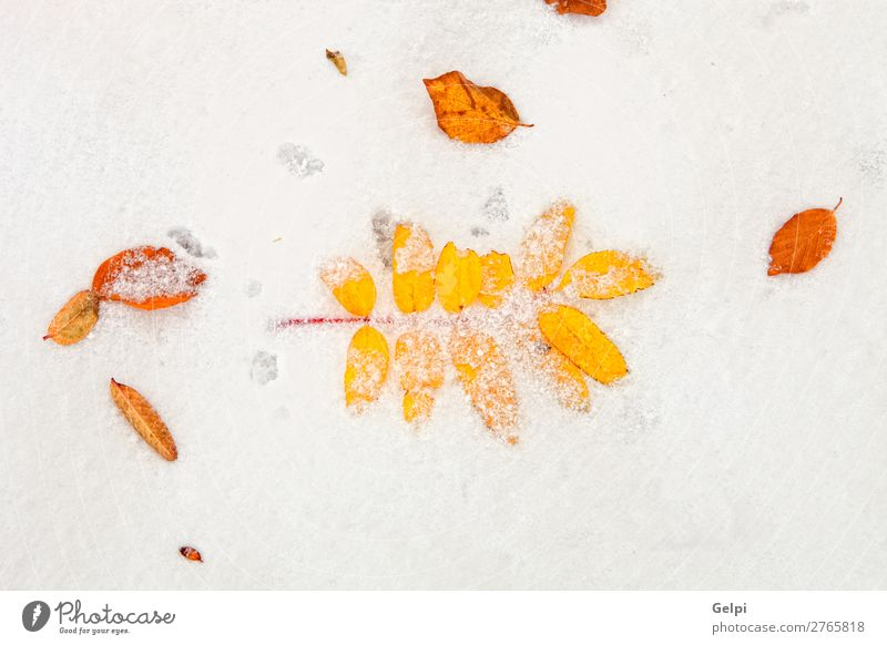 Yellow leaves on a blanket of snow Beautiful Winter Snow Nature Plant Autumn Weather Tree Leaf Old Cool (slang) Bright Brown Red White Death Colour Snowflake