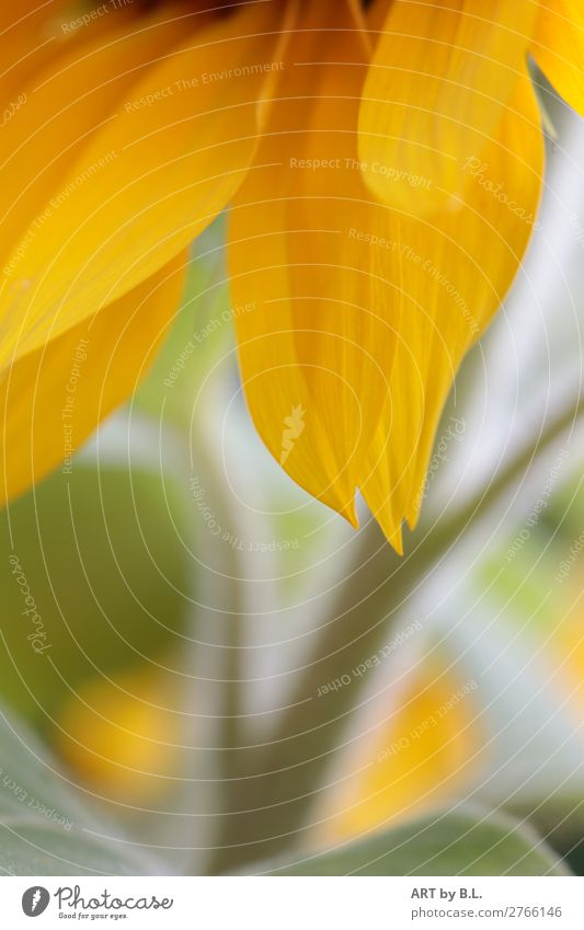 delicate nature Plant Flower Leaf Blossom Agricultural crop Touch Discover Draw Yellow Green Anticipation Warm-heartedness Colour photo Exterior shot Close-up