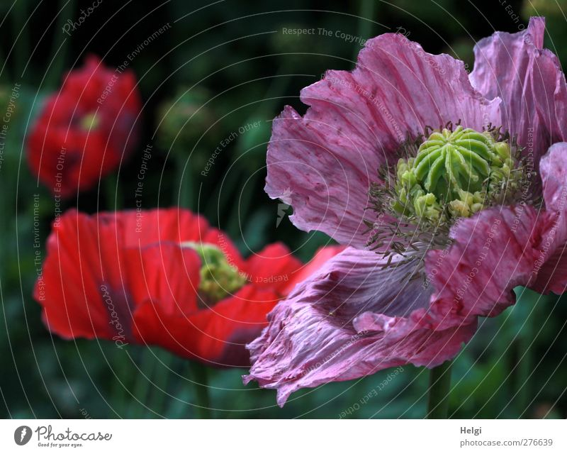 opium poppy blossoms Environment Nature Plant Summer Beautiful weather Flower Blossom Poppy Poppy blossom Opium poppy Garden Blossoming Growth Esthetic
