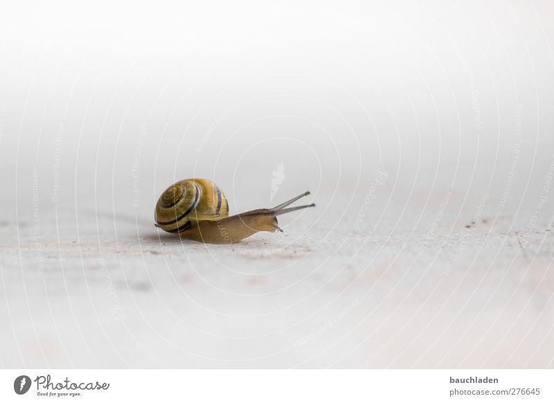 snail Nature Animal Wild animal Snail 1 Slimy Yellow Crumpet Colour photo Exterior shot Copy Space right Neutral Background Day Sunlight High-key