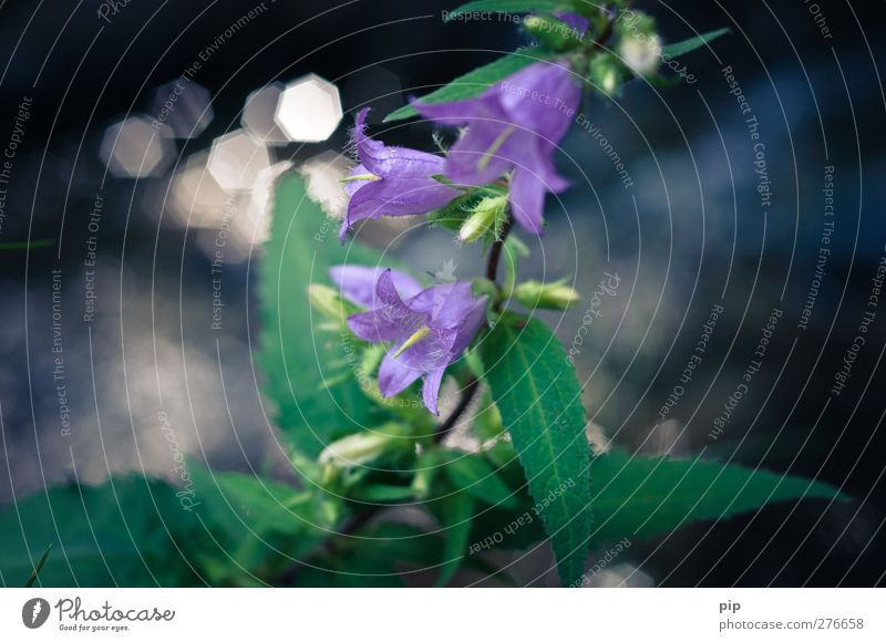 Nature Green Beautiful Plant Flower Leaf Blossom Esthetic Violet Delicate Environmental protection Calyx Bluebell