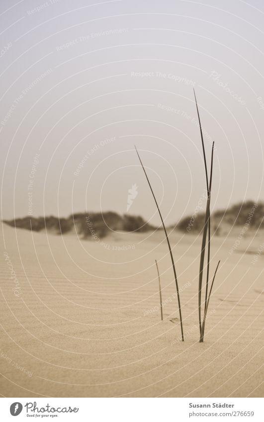 Silence in the wind. Elements Autumn Drought Plant Waves Beach Desert Oasis Threat Dune Beach dune Spiekeroog Undulation Sand Sandy beach Marram grass