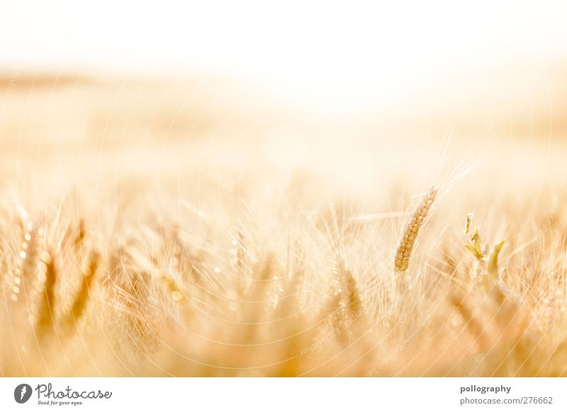 feel the nature (II) Food Grain Nature Landscape Plant Sky Cloudless sky Horizon Summer Beautiful weather Warmth Drought Agricultural crop Cornfield Field