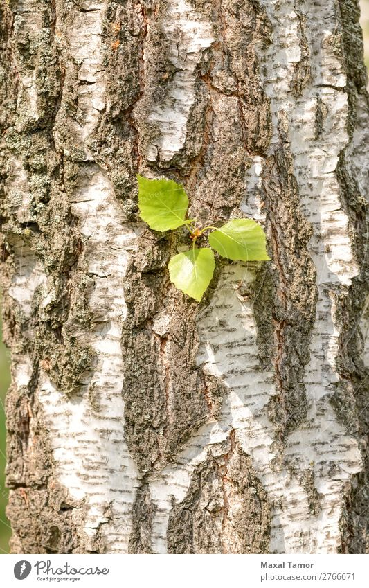 Leaves on Birch Trunk Summer Environment Nature Tree Leaf Park Forest Green White Ukraine bark birch Seasons spring sunny trunk wood young Sunlight