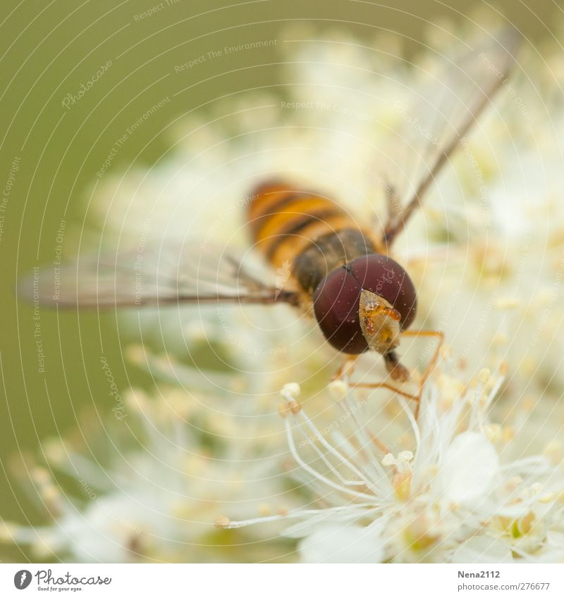 you pollen plein les yeux Nature Plant Animal Flower Wild plant Meadow Fly 1 White Pollen Hover hoverfly Eyes Compound eye Bee Wasps Insect Colour photo