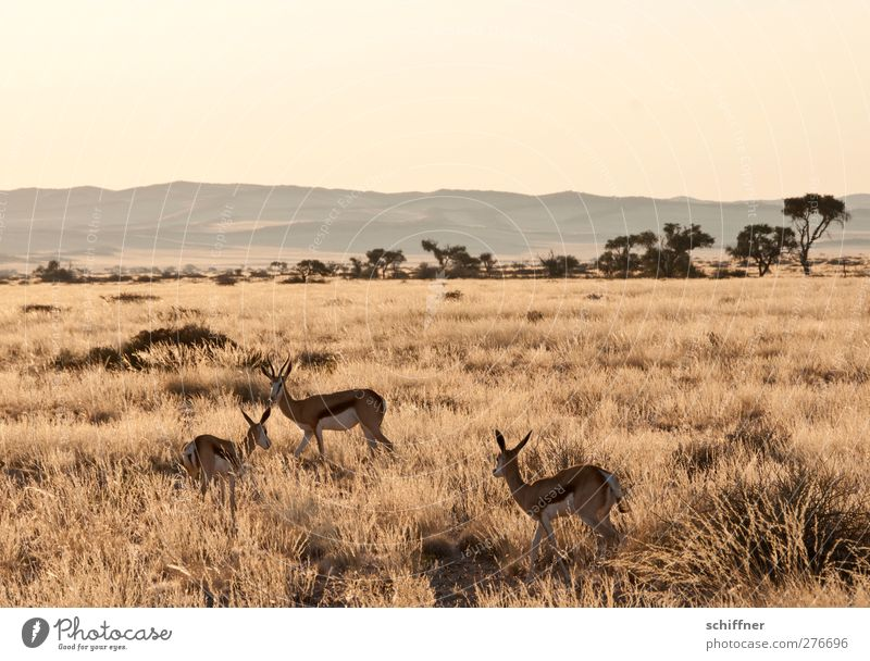 Nature Plant Animal Landscape Yellow Environment Warmth Gold Wild animal Group of animals Beautiful weather Africa Cloudless sky Drought Steppe Namibia