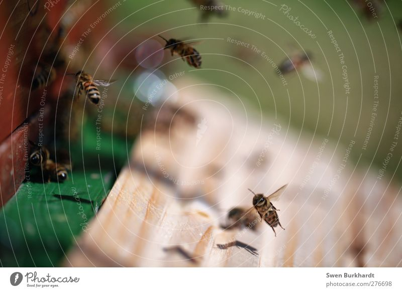I know where the golden honey comes from. Honey Bee-keeper Environment Animal Summer Farm animal Insect Flock Wood Brown Green Dangerous Aggression Chaos Threat