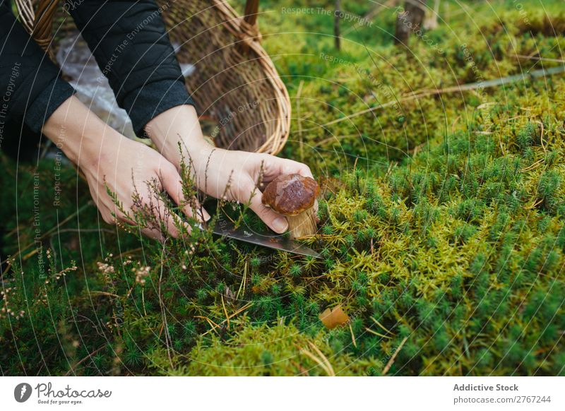 Crop woman cutting off mushroom Woman Mushroom gathering Knives Cut Tourism Natural Environment Seasons Plant Healthy Autumn Collect Fresh Forest Moss Pick