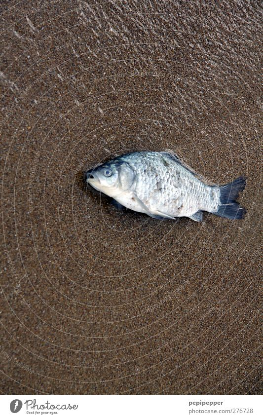 non-swimmer Food Fish Nutrition Fishing (Angle) Sand Water Coast Beach Animal Dead animal 1 Brown Turquoise Death Colour photo Exterior shot Close-up Deserted
