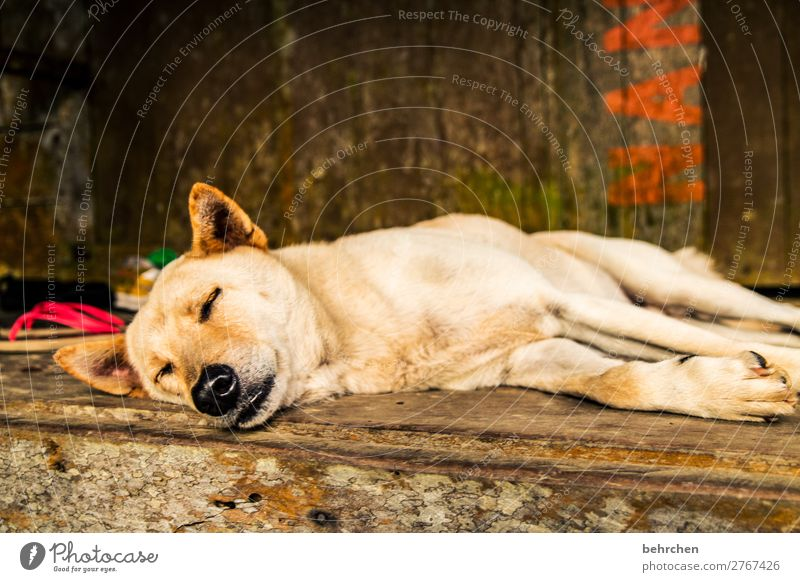 dog's life Vacation & Travel Tourism Trip Adventure Far-off places Freedom Pet Dog Animal face Pelt Paw Nose Ear 1 Relaxation Sleep Beautiful Fatigue Asia