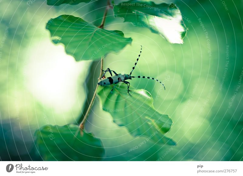 Swabian koibock beetle Leaf Twig Beetle alpine buck 1 Animal Crawl Esthetic Disgust Eroticism Beautiful Nature Environmental protection Feeler Legs Patch Blue
