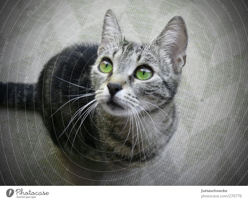 Where's my food? Animal Pet Cat 1 Baby animal Sit Brash Cuddly Curiosity Cute Gray Green Trust Love of animals Attentive Interest Snout Whisker Pelt Sincere