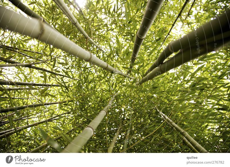 high up Plant Tree Wild plant Exotic Bamboo Bamboo stick Virgin forest Gigantic Green Power Adventure Symmetry Environment Growth Target Colour photo