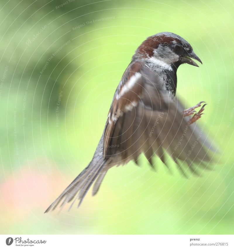 sparrow Environment Nature Animal Wild animal Bird Wing 1 Gray Green Sparrow Flying Floating Colour photo Exterior shot Deserted Copy Space left Day