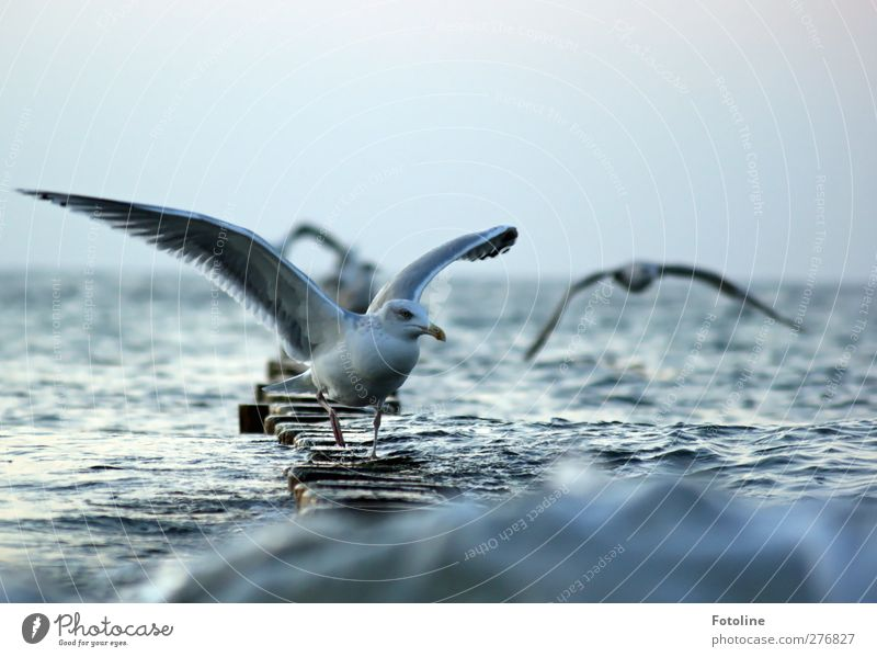 landing site Environment Nature Animal Sky Cloudless sky Autumn Waves Coast Baltic Sea Ocean Wild animal Bird Wing Wet Natural Seagull Flying Colour photo
