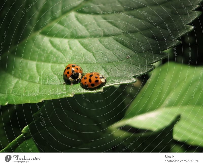 Stay with me. Summer Plant Leaf Ladybird Insect 2 Animal Pair of animals Touch Movement Natural Cute Green Orange Emotions Sympathy Together Love Colour photo