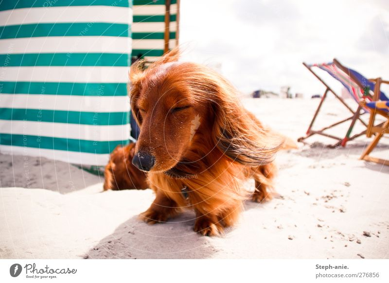 Full in the wind tunnel Clouds Summer Beautiful weather Coast Beach North Sea Baltic Sea Island Borkum Pet Dog Animal face Pelt 2 Think To enjoy Lie