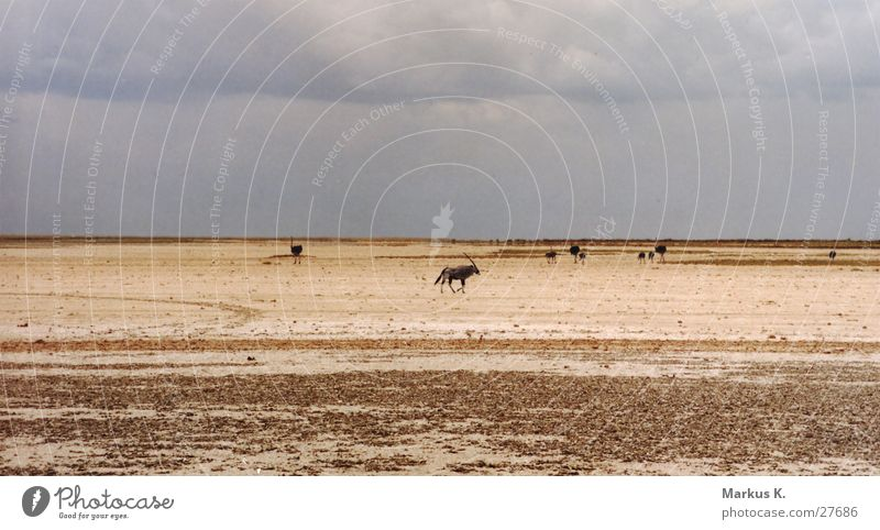 Etosha Pan Etosha pan Park Salt  lake Dry Gemsbok Antelope Physics Namibia Munich Saltworks Water Warmth Appetite Thirst