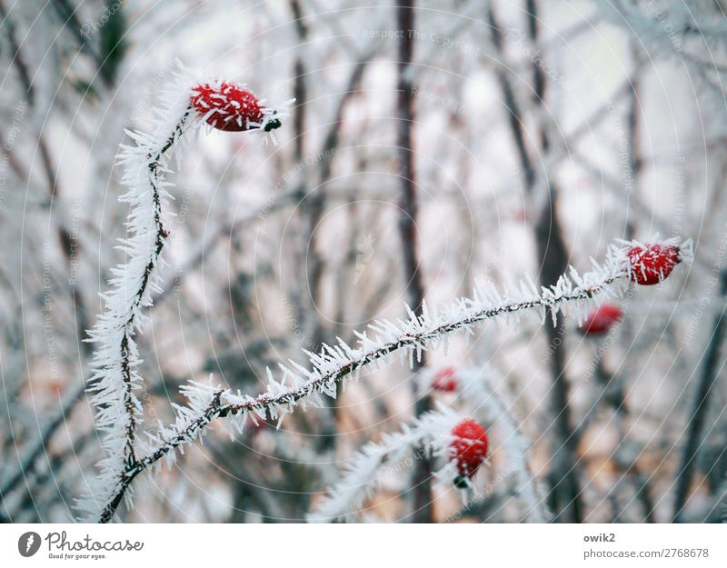 Winter Games Environment Nature Landscape Plant Ice Frost Snow Bushes Rose hip Hedge Forest Freeze Cold Motionless Colour photo Exterior shot Detail