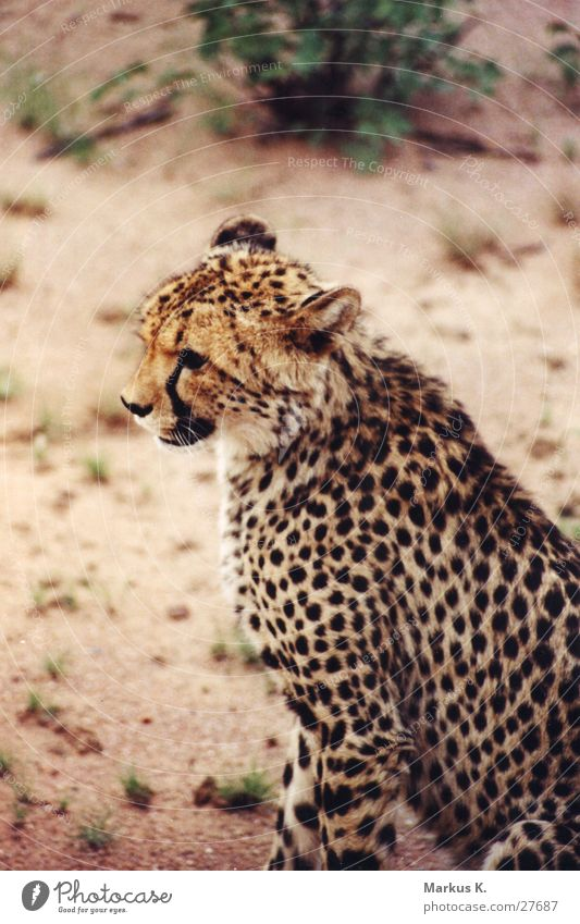 The Sprinter Cheetah Speed Cat Land-based carnivore Claw Africa Hunter Purr Namibia big cat Pride