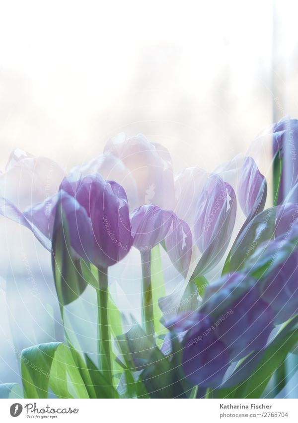 Tulips purple Art Nature Plant Spring Summer Autumn Winter Flower Leaf Blossom Bouquet Blossoming Illuminate Fragrance Beautiful Blue Green Violet Painted