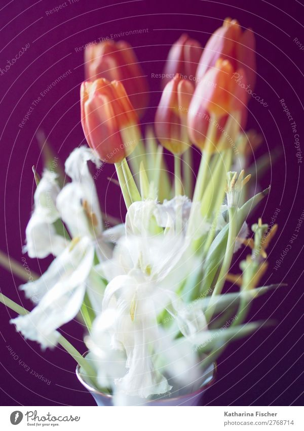 Tulips white red orange tulips bouquet of flowers double exposure Art Plant Spring Summer Autumn Winter Flower Leaf Blossom Bouquet Blossoming Fragrance