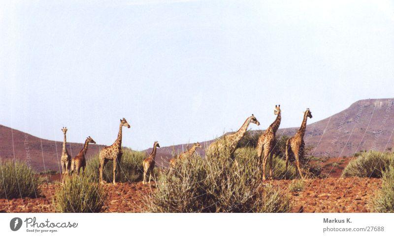 giraffes Africa Long Colossus Red Namibia Giraffe Multiple Neck