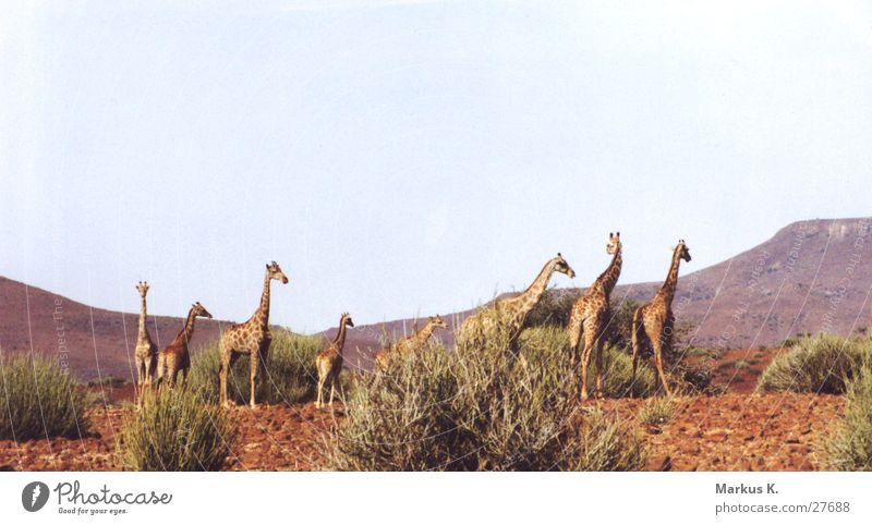 Red Multiple Long Africa Neck Colossus Giraffe Namibia